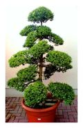 Potted topiary conifer