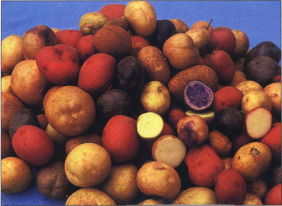 Potato many colors