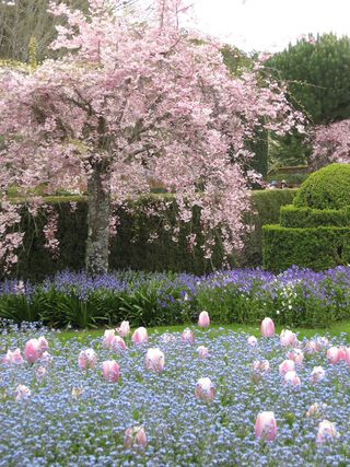 Filoli cherry tree and tulips and myosotis